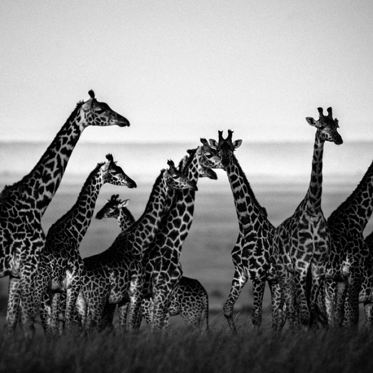 © The Family Album of Wild Africa by Laurent Baheux, published by teNeues and YellowKorner, www.teneues.com, www.yellowkorner.com. Giraffes, Kenya 2013, Photo © Laurent Baheux, www.laurentbaheux.com