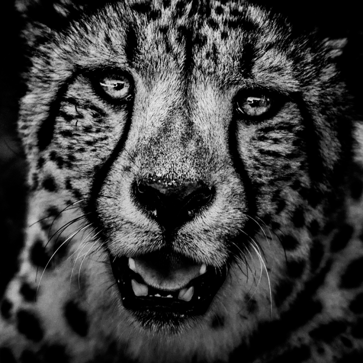 © The Family Album of Wild Africa by Laurent Baheux, published by teNeues and YellowKorner, www.teneues.com, www.yellowkorner.com. Cheetah, Kenya 2006, Photo © Laurent Baheux, www.laurentbaheux.com