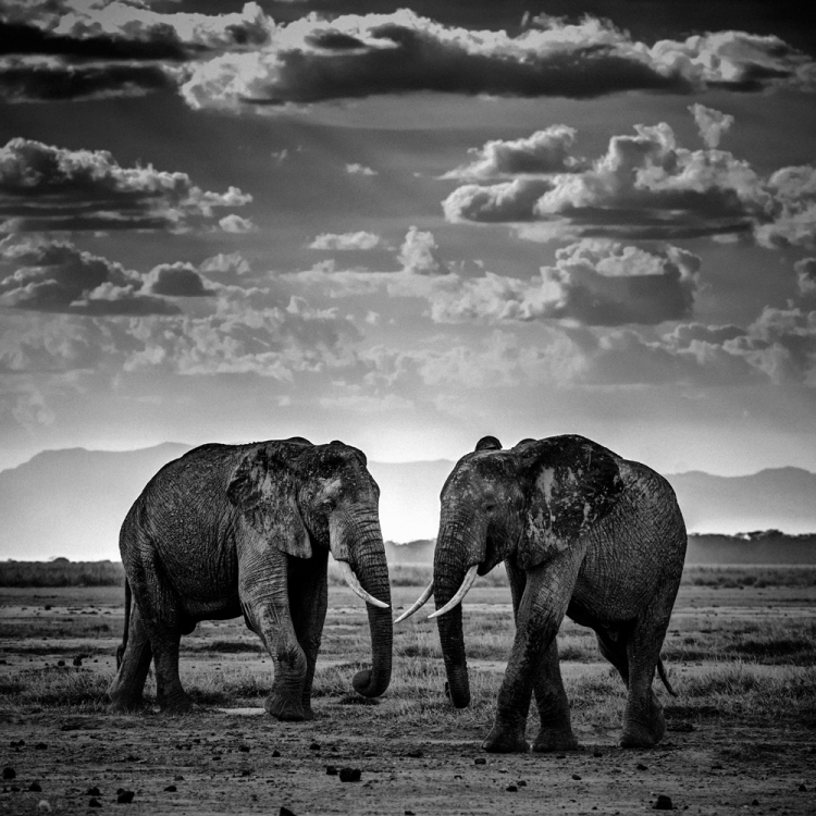 © The Family Album of Wild Africa by Laurent Baheux, published by teNeues and YellowKorner, www.teneues.com, www.yellowkorner.com. Two elephants, Tanzania 2015, Photo © Laurent Baheux, www.laurentbaheux.com