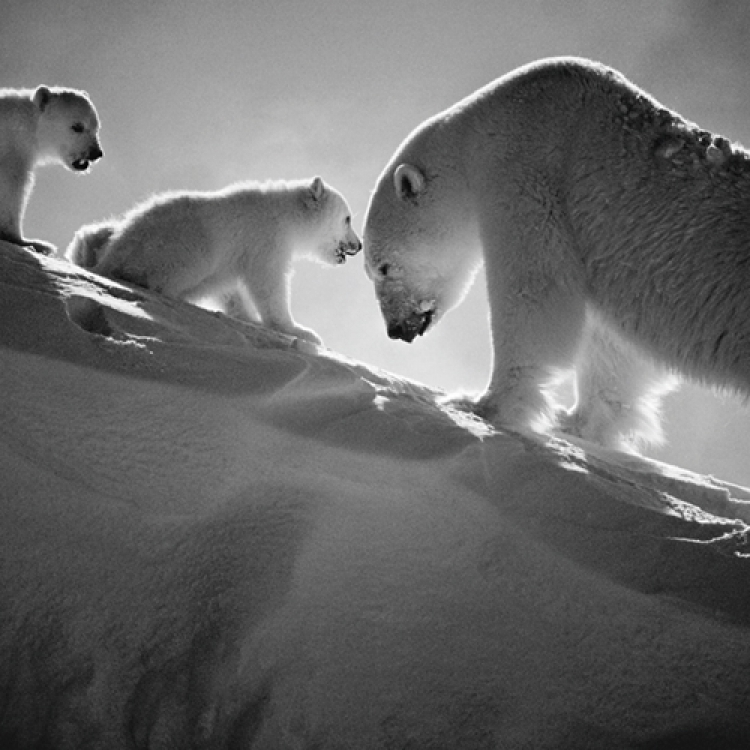 Polar bear with cubs, Baffin Island Canada, 2016 Photo © Laurent Baheux