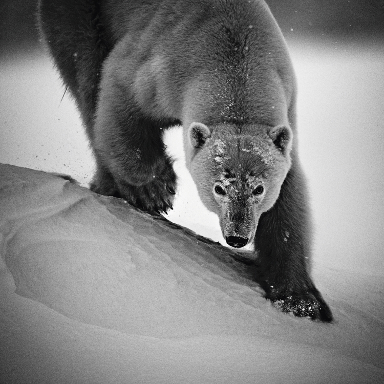 Polar bear, Svalbard, 2014 Photo © Laurent Baheux