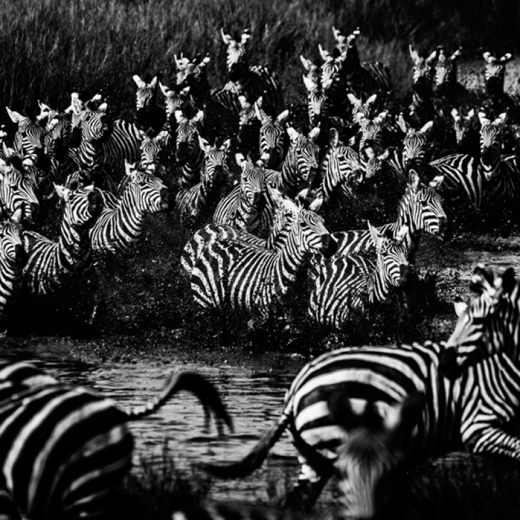 © The Family Album of Wild Africa by Laurent Baheux, published by teNeues and YellowKorner, www.teneues.com, www.yellowkorner.com. Zebras, Tanzania 2015, Photo © Laurent Baheux, www.laurentbaheux.com