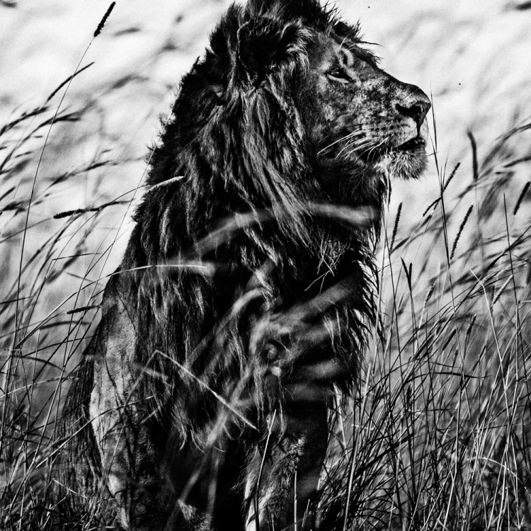 © The Family Album of Wild Africa by Laurent Baheux, published by teNeues and YellowKorner, www.teneues.com, www.yellowkorner.com. Lion in the grass, Kenya 2013, Photo © Laurent Baheux, www.laurentbaheux.com