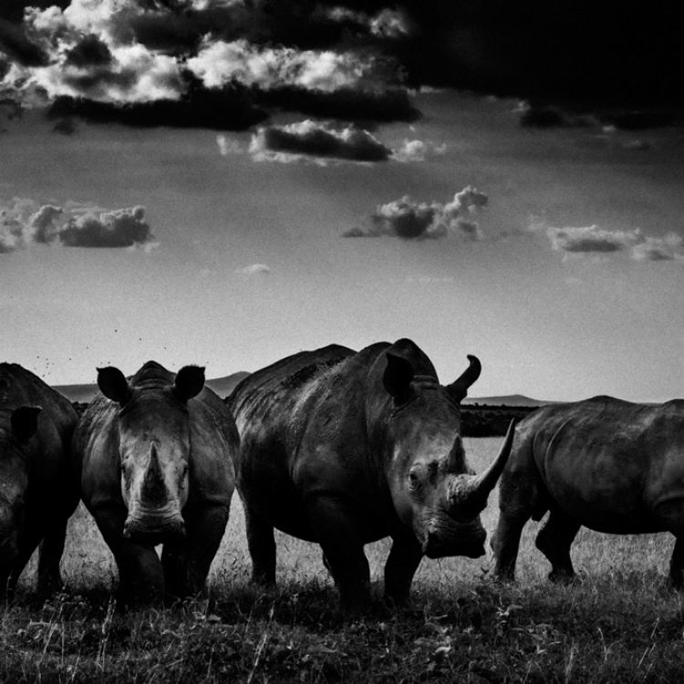 © The Family Album of Wild Africa by Laurent Baheux, published by teNeues and YellowKorner, www.teneues.com, www.yellowkorner.com. Rhinos quartet, Kenya 2013, Photo © Laurent Baheux, www.laurentbaheux.com