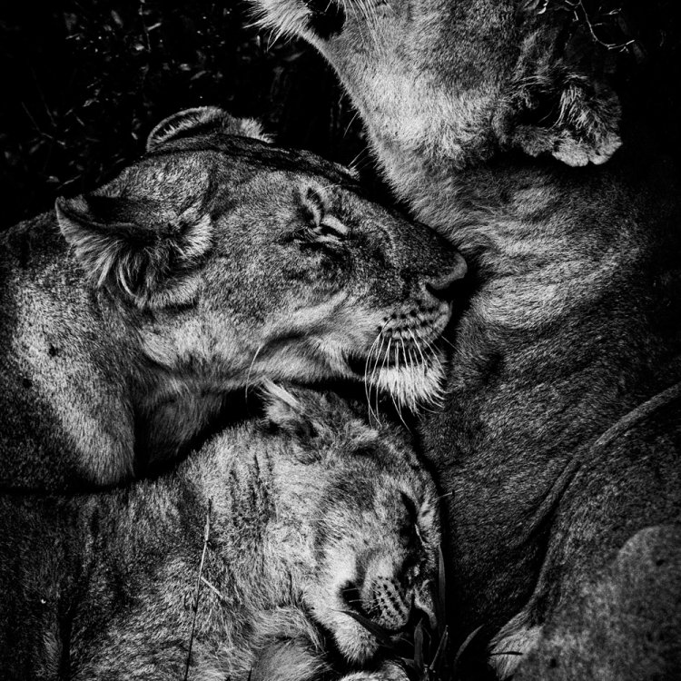 © The Family Album of Wild Africa by Laurent Baheux, published by teNeues and YellowKorner, www.teneues.com, www.yellowkorner.com. Lioness, Kenya 2006, Photo © Laurent Baheux, www.laurentbaheux.com