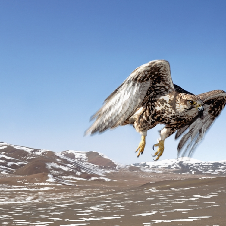 Saker falcon, Deloun Highlands, Olgii Province, Mongolia, 2009, Photo © 2016 Hamid Sardar. All rights reserved. www.hamidsardarphoto.com