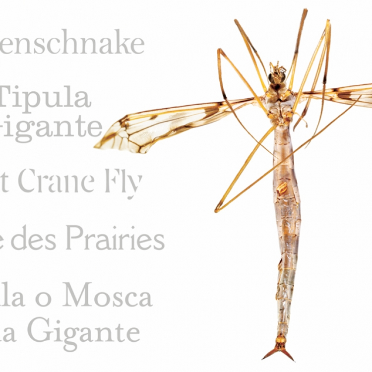 Giant Crane Fly, Photo © 2017 Charles Nesbit and Adrienne Kaufman Nesbit. All rights reserved.