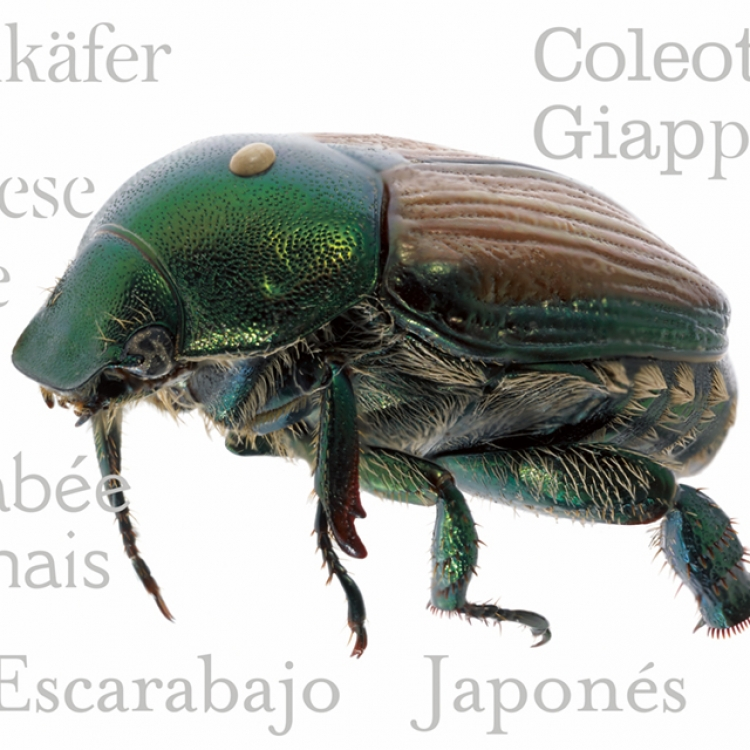 Japanese Beetle, Photo © 2017 Charles Nesbit and Adrienne Kaufman Nesbit. All rights reserved.