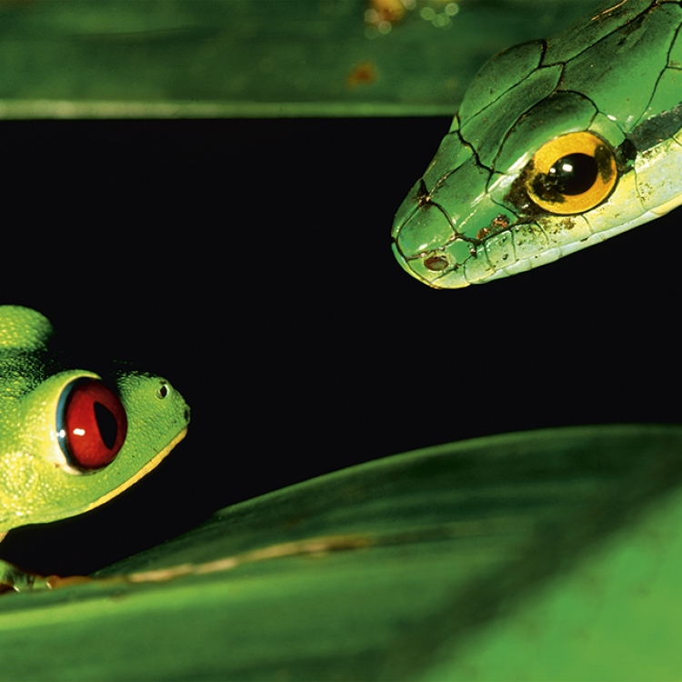 A red-eyed treefrog (Agalychnis callidryas) faces a predator, a parrot snake (Leptophis ahaetulla). It's dangerous for a frog at a mating pond: many snakes come to look for food-both frogs and their eggs. Panama, Photo © 2017 Christian Ziegler. All rights reserved. www.christianziegler.photography