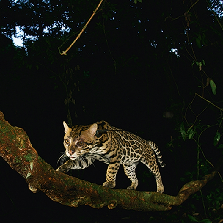 An ocelot (Leopardus pardalis) creeps along a liana looking for prey in Panama's forest, Photo © 2017 Christian Ziegler. All rights reserved. www.christianziegler.photography
