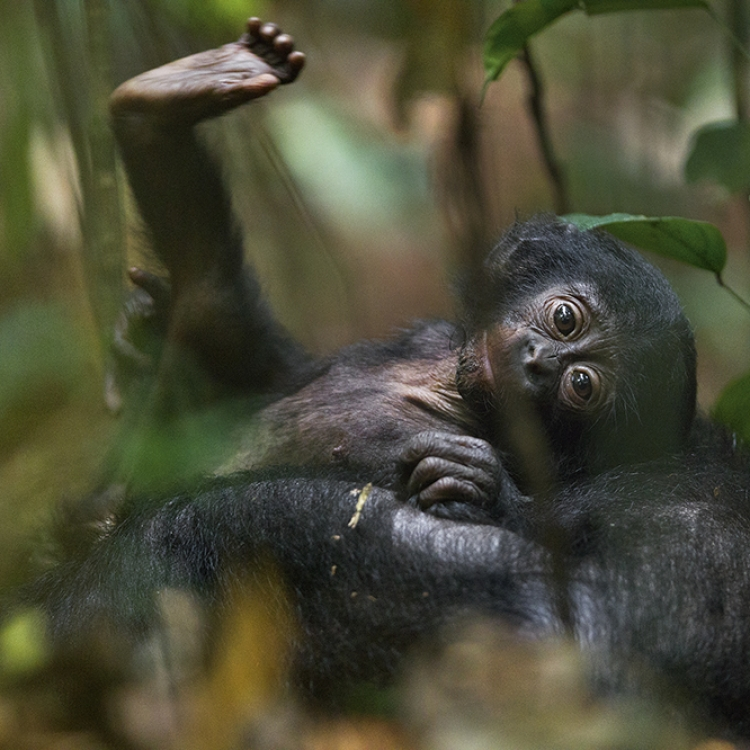 A playful bonobo (Pan paniscus) youngster stretches on its mother's belly, Democratic Republic of Congo, Photo © 2017 Christian Ziegler. All rights reserved. www.christianziegler.photography