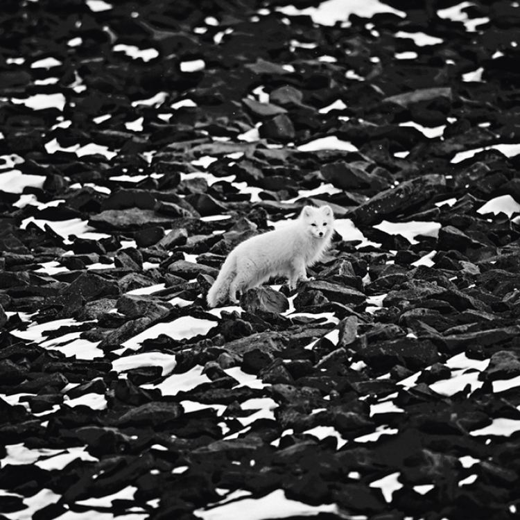 Polar fox, Svalbard, 2014 Photo © Laurent Baheux