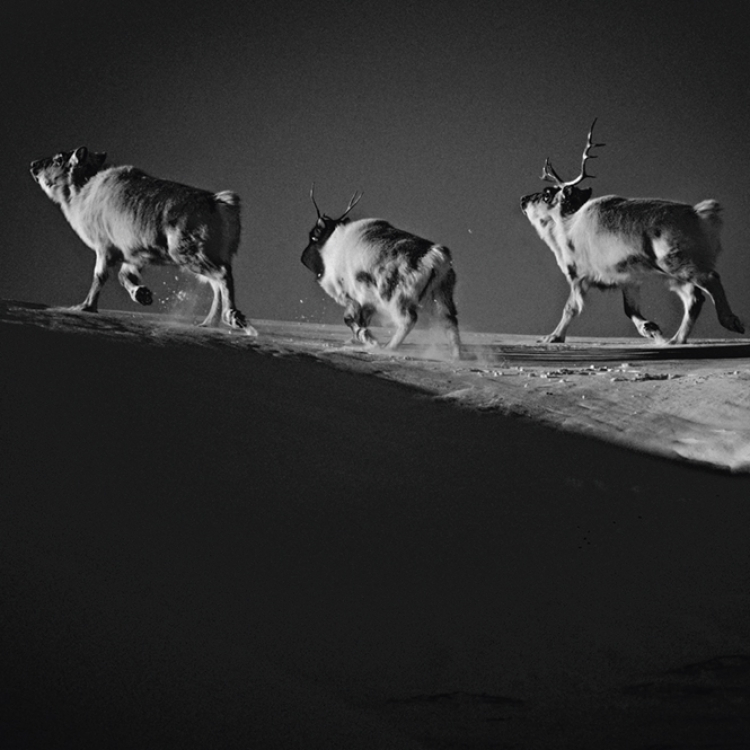 Reindeers, Svalbard, 2014 Photo © Laurent Baheux