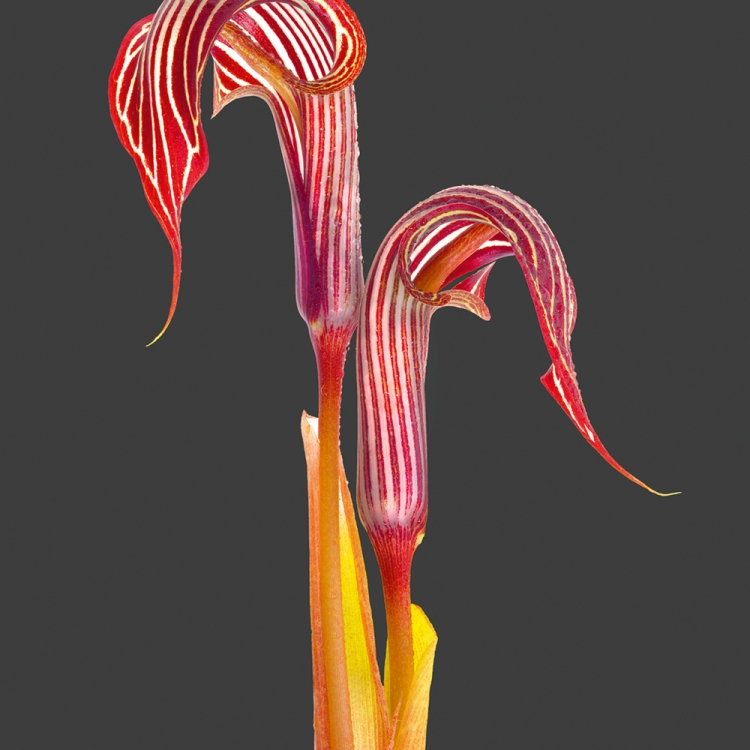 Arisaema fargesii Photo © 2018 Richard Fischer. All rights reserved. www.richardfischer.org