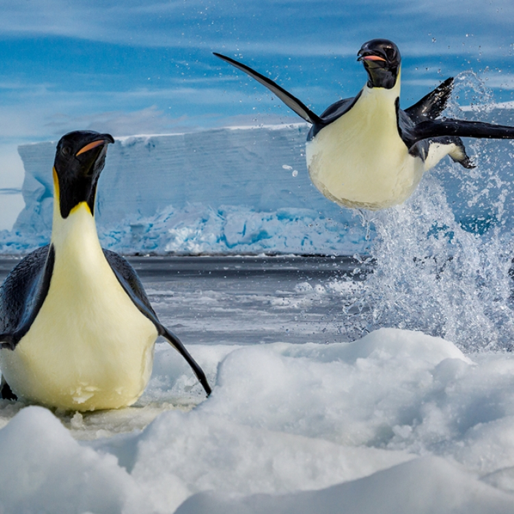 © Born to Ice by Paul Nicklen, to be published by teNeues in July 2018, www.teneues.com, Leap of Faith, Ross Sea, Antarctica, Photo © 2018 Paul Nicklen. All rights reserved. www.sealegacy.org