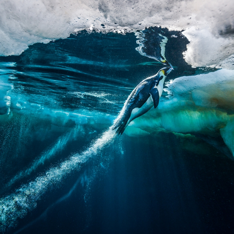 © Born to Ice by Paul Nicklen, to be published by teNeues in July 2018, www.teneues.com, Evolve, Ross Sea, Antarctica, Photo © 2018 Paul Nicklen. All rights reserved. www.sealegacy.org