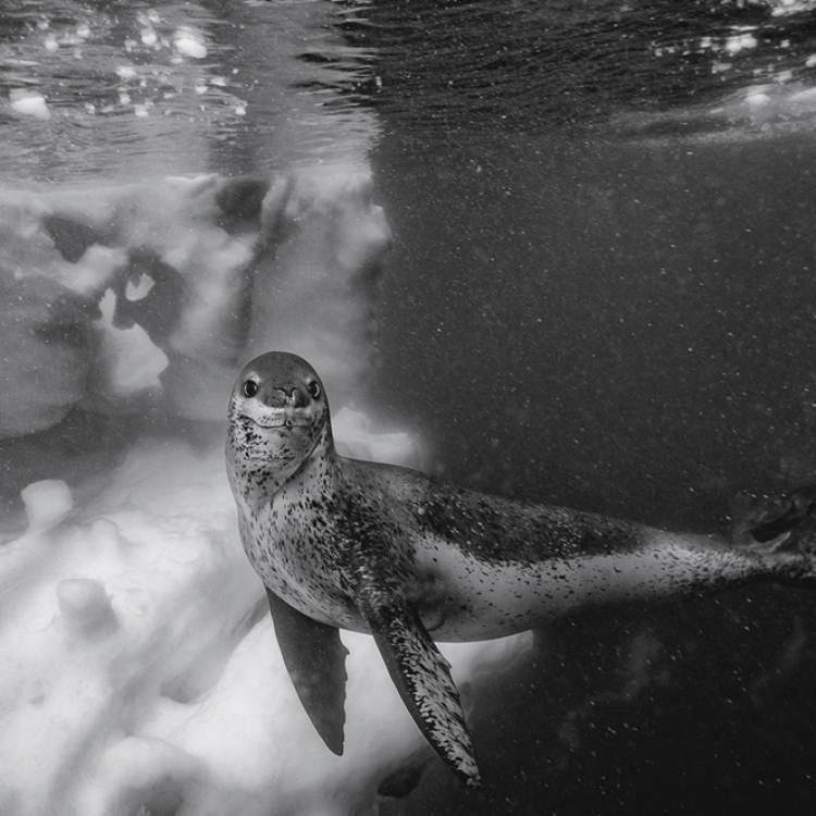 © Born to Ice by Paul Nicklen, to be published by teNeues in July 2018, www.teneues.com, The Posture, Antarctic Peninsula, Antarctica, Photo © 2018 Paul Nicklen. All rights reserved. www.sealegacy.org