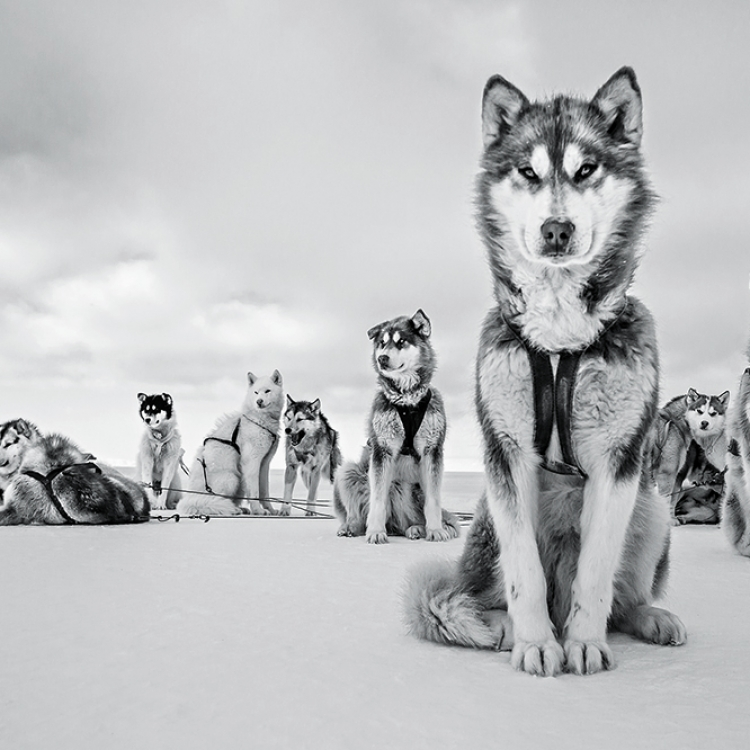 Alpha Dog, Greenlandic Huskies, Thule, Greenland, April 2015, Photo © 2018 Cristina Mittermeier. All rights reserved. www.sealegacy.org