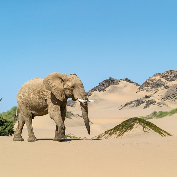 Elephant in the sandy desert on the Skeleton Coast. The elephants who live here are true masters of survival, Photo © 2018 Michael Poliza. All rights reserved.