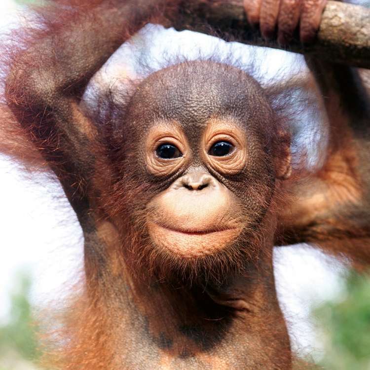Baby orangutan, Borneo, Photo © 2018 Michael Poliza. All rights reserved. www.michaelpoliza.com