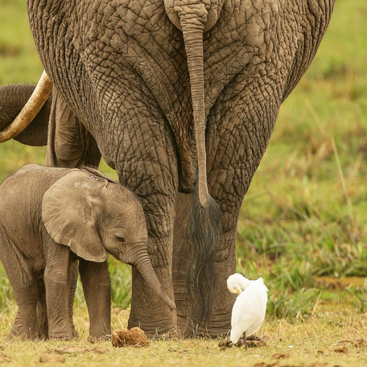 Elephant with her baby, Amboseli National Park, Kenya, Photo © 2018 Michael Poliza. All rights reserved. www.michaelpoliza.com