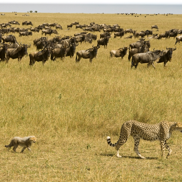 Cheetahs passing herd of wildebeest, Amboseli, Maasai Mara, Kenya, Photo © 2018 Michael Poliza. All rights reserved. www.michaelpoliza.com
