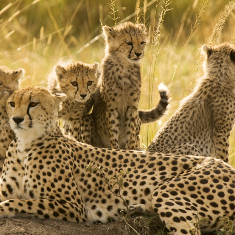 Cheetah family, Maasai Mara, Kenya, Photo © 2018 Michael Poliza. All rights reserved. www.michaelpoliza.com