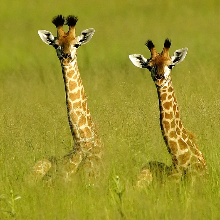 Baby giraffes peek over the long grass, Vumbura Plains, Botswana, Photo © 2018 Michael Poliza. All rights reserved. www.michaelpoliza.com