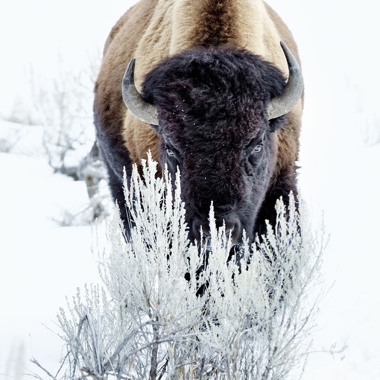 Bison, Montana/Wyoming, USA & Alberta, Kanada © Werner Lampert GmbH, Photo Ramona Waldner
